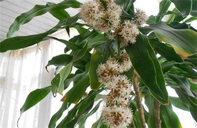 巴西木开花有毒吗,开花是什么兆头