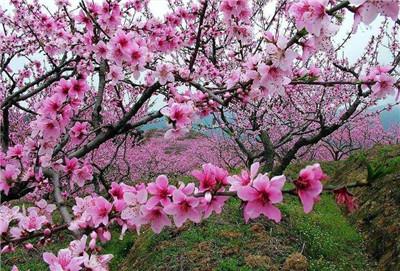 桃花有哪些品种