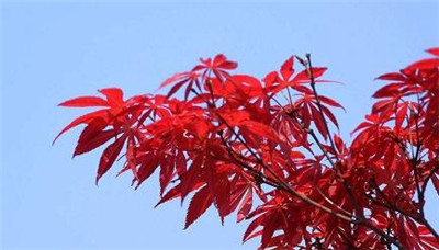 红枫与鸡爪槭的区别有哪些