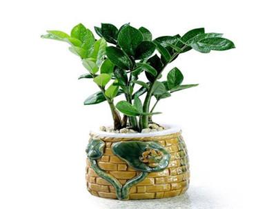 金钱树开花的寓意是什么?金钱树的风水作用有哪些?