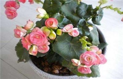 海棠花有毒吗?可以在卧室养殖吗?