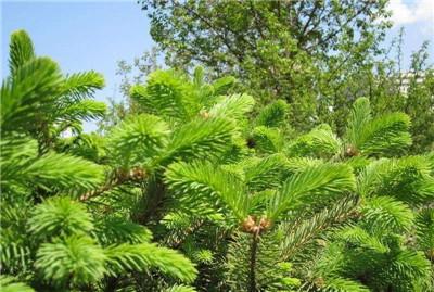 关于松树的资料,大家知道多少那?