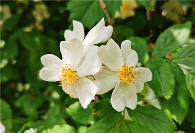蔷薇花什么时候开?蔷薇花的花期是什么时间?