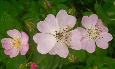 一起来看看野蔷薇花以及野蔷薇花图片