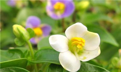 紫芳草,一起来看看吧