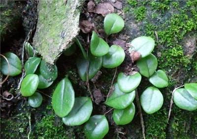 石瓜子莲,石瓜子莲的作用和功效