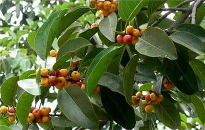 榕树果的作用和功效有哪些?