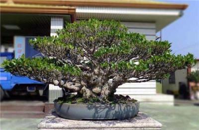 榕树盆景怎么修剪造型