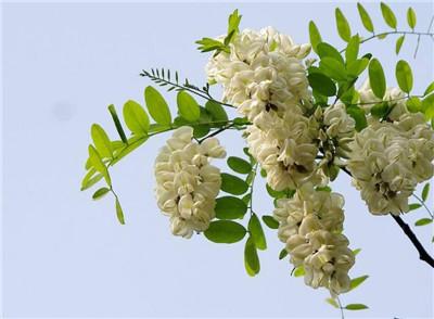槐树花的吃法有哪些?槐树花怎么吃?