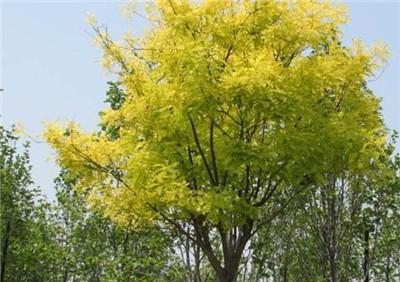 一起来看看槐树的资料吧,槐树的品种有哪些?