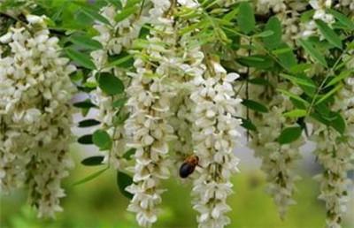 槐树花什么时间开?槐树花的花期是什么时候?