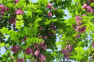 富贵树掉叶子怎么办?富贵树掉叶子的原因是什么?