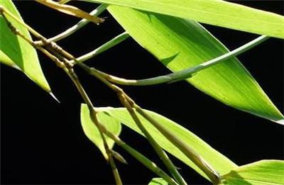 毛竹种子如何种植?毛竹种子的种植方法是怎样的?