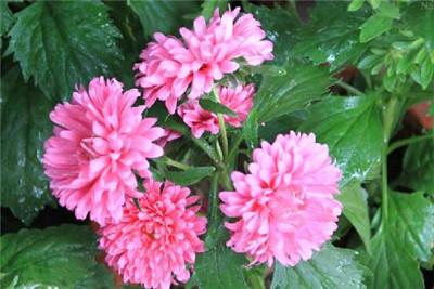 一起来看看翠菊以及翠菊图片