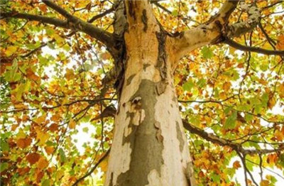 梧桐树和泡桐树的区别