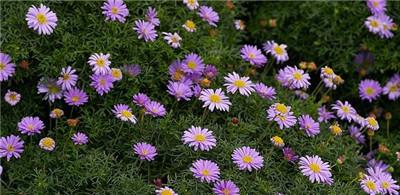 一起来看看五色菊以及五色菊图片