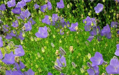 一起来看看丛生风铃草以及丛生风铃草图片