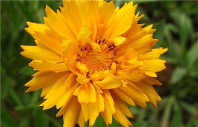 一起来看看大花金鸡菊以及大花金鸡菊图片