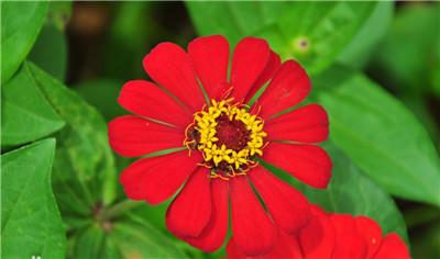 一起来看看百日菊以及百日菊图片