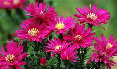 一起来看看荷兰菊以及荷兰菊图片