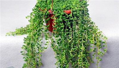 珍珠吊兰的养殖方法和注意事项有哪些?