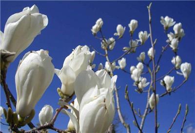 玉兰花的功效和作用有哪些?