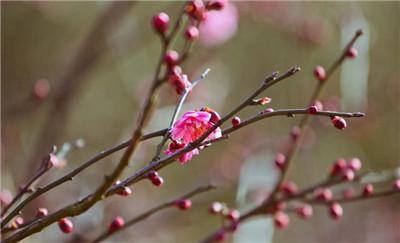 腊梅种子怎么种植?腊梅种子的种植方法是怎样的?