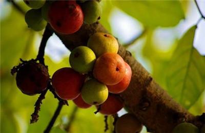 榕树果有毒吗?