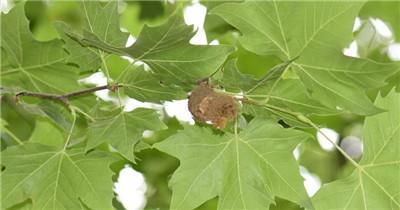 梧桐树的叶子像什么