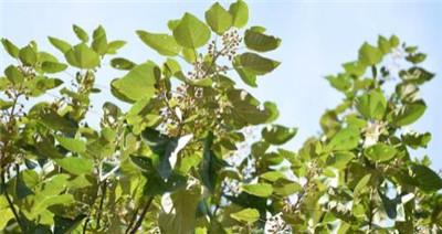油桐花的花语是什么?油桐花的传说有哪些?