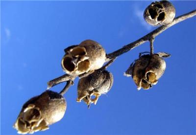 金鱼草的养殖方法和注意事项有哪些