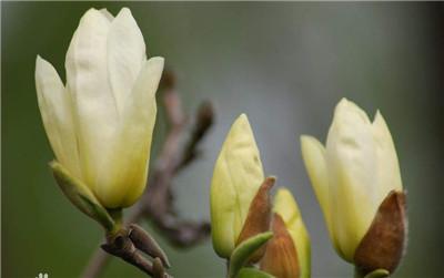 玉兰花是什么颜色?