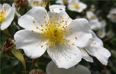 野蔷薇花的功效和作用有哪些?