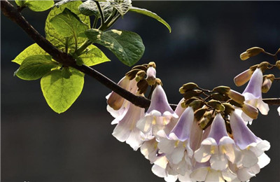 泡桐花的作用和功效有哪些?