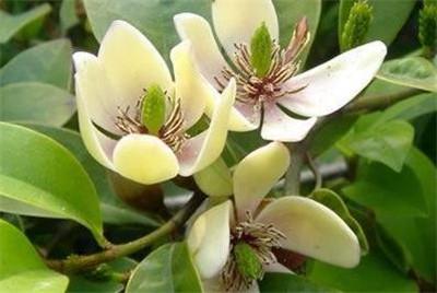 含笑花的养殖方法和注意事项有哪些?