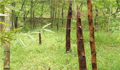 毛竹如何种植?毛竹的种植方法有哪些?