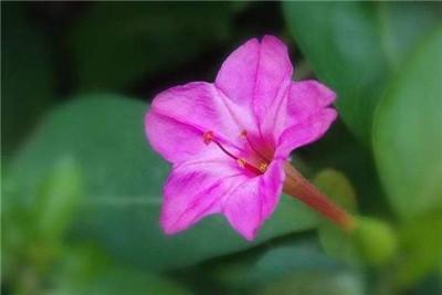 紫茉莉的功效和作用有哪些?