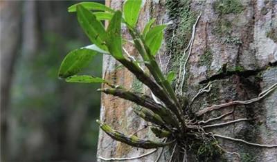 石斛花的禁忌和副作用有哪些?