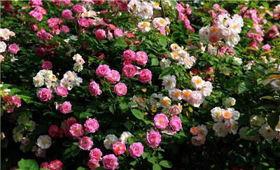 蔷薇花的种植方法是怎样的?蔷薇花怎么种植?