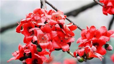 木棉花的花语是什么?木棉花有什么传说?