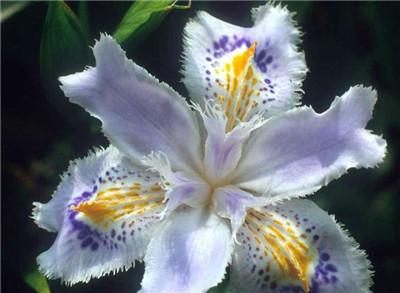 蝴蝶花花语是什么?蝴蝶花有哪些传说?