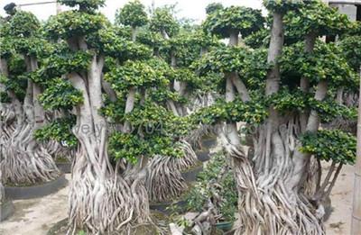 榕树怎么养长得好?