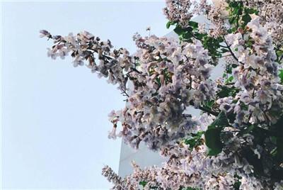 泡桐花的花语是什么?泡桐花的传说有哪些?
