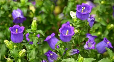风铃花的种植方法