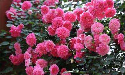 蔷薇花如何繁殖?蔷薇花的繁殖方法是怎样的?