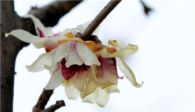 腊梅什么时间开花?腊梅开花如何养护?