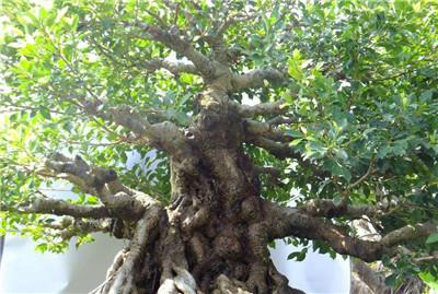 一起来看看榕树的资料吧