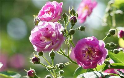 蔷薇花如何扦插?蔷薇花的扦插方法是怎样的?