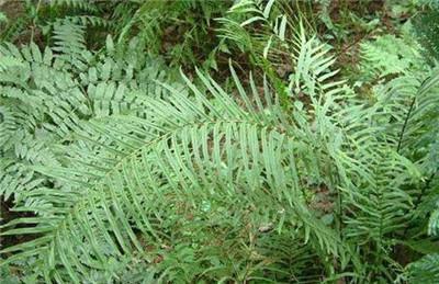 小凤尾草,小凤尾草的功效和作用