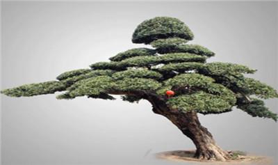 罗汉松盆景图片,罗汉松盆景品种图片